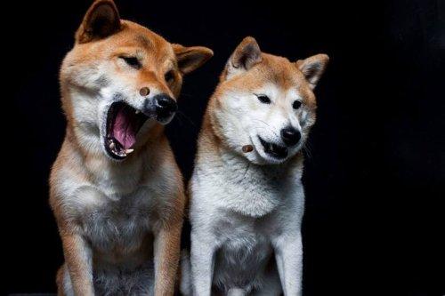 Irrer Hype um Spaß-Kryptowährung! Shiba Inu mit 950 Prozent Kurs-Explosion im letzten Monat