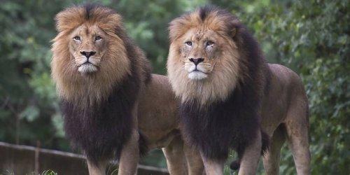 Delta-Variante eingefangen: Appetitlosigkeit und Husten: Elf Löwen im Zoo von Denver positiv auf Corona getestet