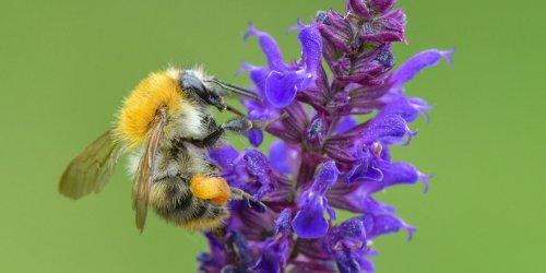 Nabu-Insektensommer: Ackerhummel in Thüringen auf Platz Eins