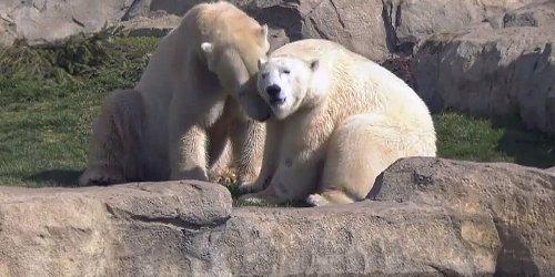 Sofort auf einer Wellenlänge: Herzerwärmendes Kennenlernen: Eisbär Hudson trifft auf neue Mitbewohnerin