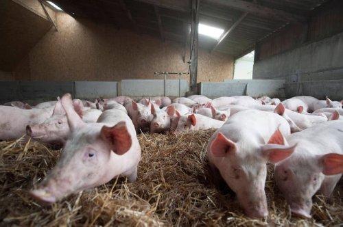 Während britische Bauern Tiere keulen, flutet deutsches Schweinefleisch ihren Markt