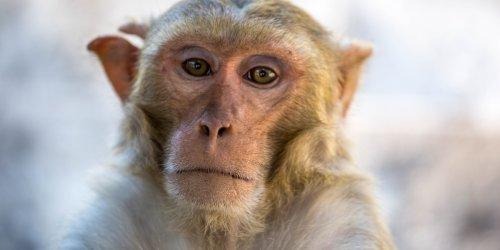 """""""Müssen anfangen, über diese Möglichkeit nachzudenken"""": Mischwesen für die Forschung: Wissenschaftler erzeugen Mensch-Affe-Embryonen"""
