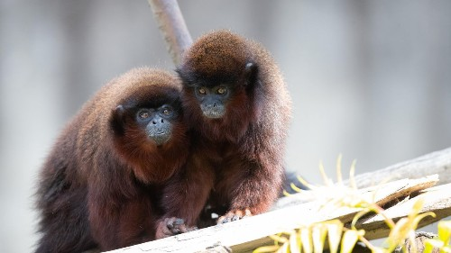 Monogamy In New World Monkeys ... And In Humans