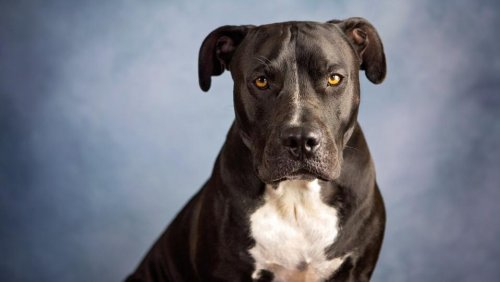 Dog Breeds Banned By Home Insurance Companies