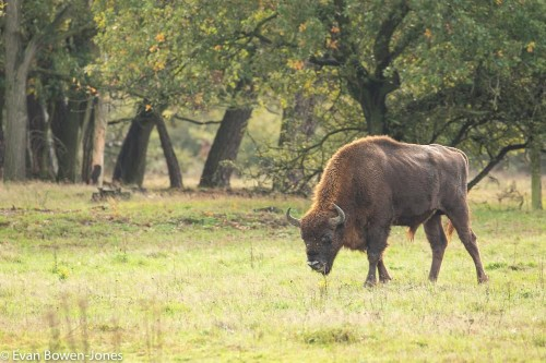 Bison To Return To British Woodland After Absence Of More Than Six Millennia