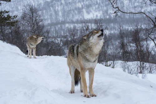 Trump Administration Takes Gray Wolves Off Endangered Species List, Drawing Protests From Conservation Groups