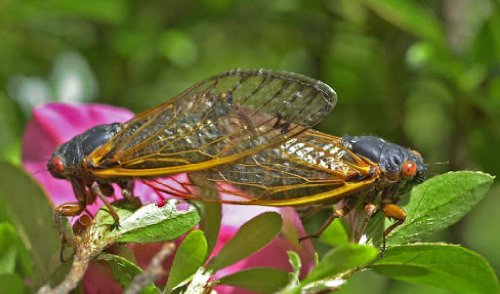 Mother Nature's Epic 'Cicada-Palooza' Is Coming Soon To 15 States
