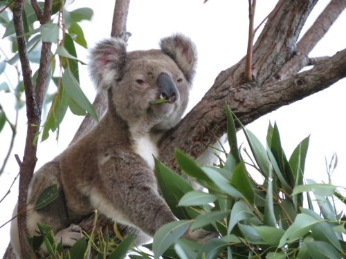 Forest Loss Could Be Causing Koalas To Inbreed