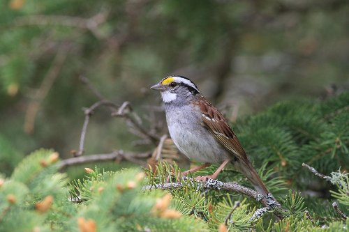 Viral Sparrow Song Takes Canada By Storm