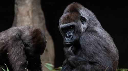 What Covid-19 In Gorillas Teaches Us About Viral Evolution