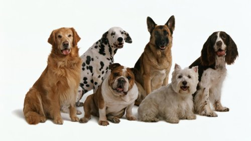 Most Expensive Dog Breeds For Pet Insurance