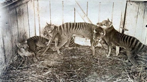 Thylacines Had More In Common With Coyotes Than With Wolves