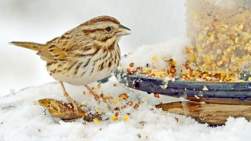'Dear Enemies' Are Made When A Song Sparrow Learns To Sing