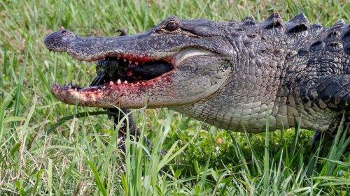 Huge Alligator Ate Louisiana Man After Hurricane Ida, Officials Confirm