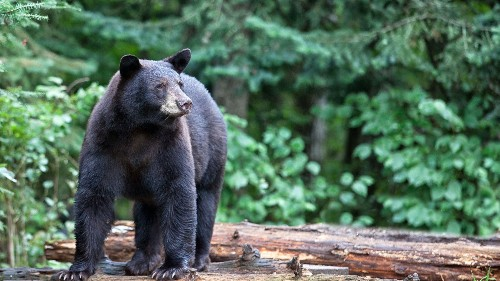 New Hampshire sportsmen set new bear-hunt record