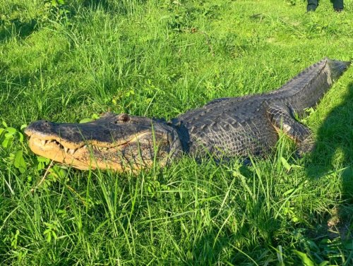 Mississippi alligator contained 6,000-year-old artifact in stomach