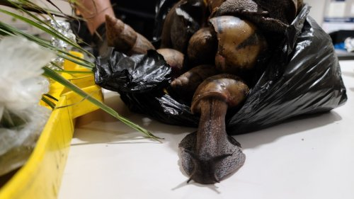 Highly invasive Giant African Snails caught at JFK by customs agents
