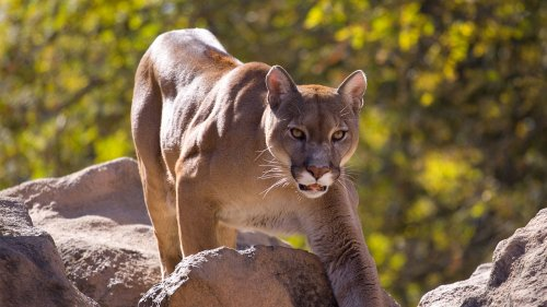 Man stalked by mountain lion on Utah trail, viral video shows