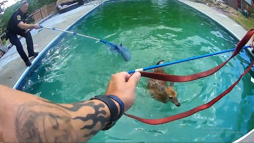 2 baby deer 'cheer' after Ohio police rescue them from backyard pool
