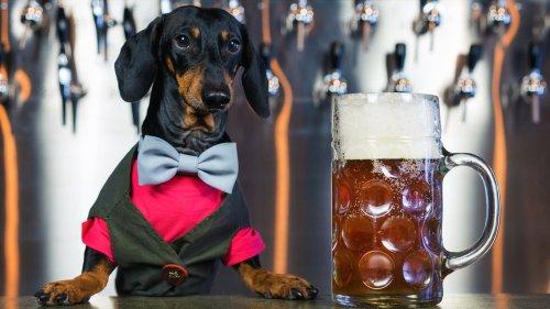 Busch Beer paying dog $20G, plus 'benefits,' to taste Dog Brew