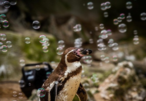 Penguins are being entertained with bubble machine because of coronavirus pandemic