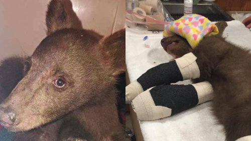 Bear cub rescued from California wildfires