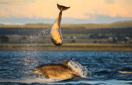 Dolphins spotted 'playing volleyball' off Scottish coast