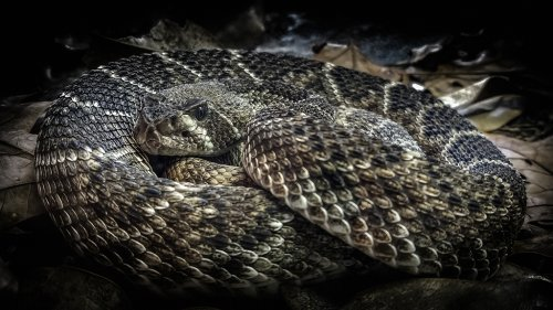 'Huge' rattlesnake stuns Florida golfers with 'unusual' appearance on course