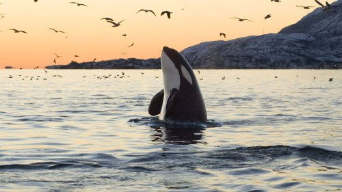Killer whales attack fishing boat near Spain