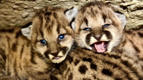 National Park Service announces mountain lion 'summer of kittens' in California