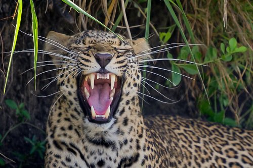 Leopard looks like it's laughing in viral photo: 'I just thought it was hilarious'