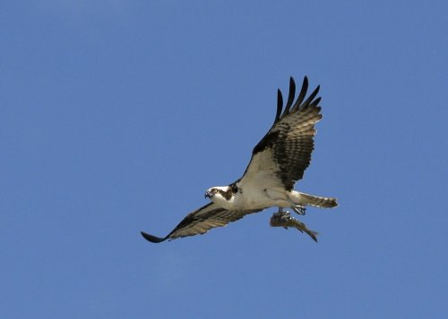 Wildlife photographer captures osprey carrying shark, carrying fish in 'one-in-a-trillion photograph'