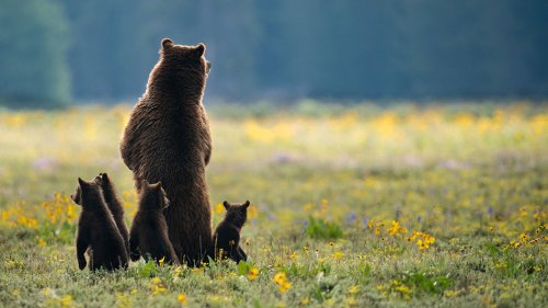 Photographer shares story of photo that shows a grizzly bear protecting cubs at Grand Teton National Park