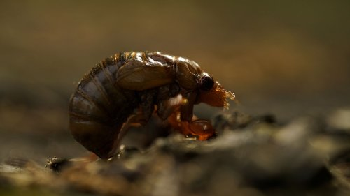 2021 Brood X cicadas: Here's where the insects are emerging