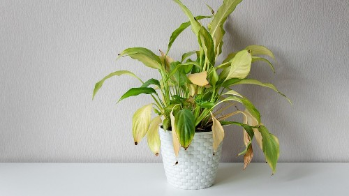 5 reasons your houseplants are yellowing or wilting
