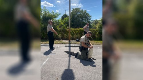 Alligator chases people through Wendy's parking lot in Florida
