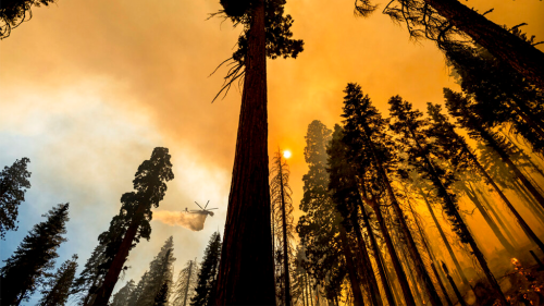 Sequoia National Park's 'Four Guardsmen' trees protected from fire