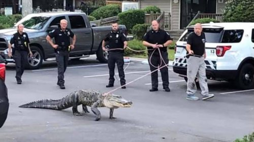 Alligator on leash walked by police officers in North Carolina