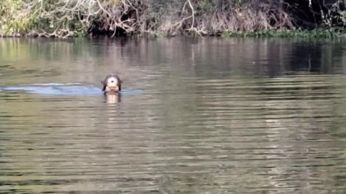 Giant river otter resurfaces in Argentina; experts thought it was locally extinct