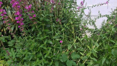 Unkraut entfernen, aber richtig: Einige Methoden helfen langfristig gegen miese Beipflanzen
