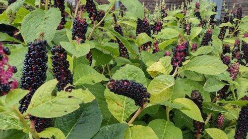 Bloß nicht essen: Diese Beeren sehen verlockend aus, sind aber giftig