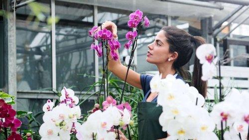 Drei Tricks, um die Orchideen wieder zum Blühen anzuregen