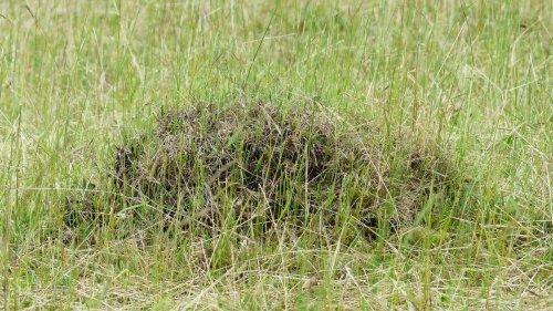 Ameisen im Rasen? So werden Sie die Krabbeltiere mit Hausmitteln los