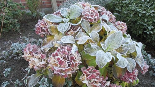 Hortensien überwintern: So warm braucht es die Pflanze ab Oktober