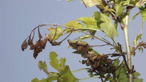 Meldepflichtige Pflanzenkrankheiten: Diese Schädlinge und Probleme sollten gemeldet werden