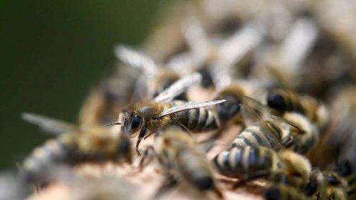 Bienensterben: Einfacher Trick kann ganze Völker retten