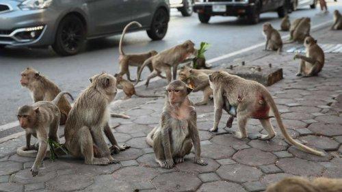Touristen-Attraktion wird zur Plage: Affen-Gangs legen komplette Stadt lahm
