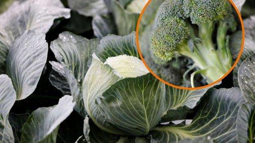 Brokkoli, Wirsing und Kohl roh essen: Gemüse kann schädlich für Gesundheit sein