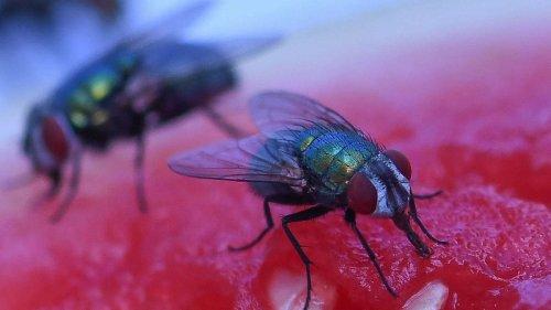 Lästige Fliegen loswerden: So bekämpft man Stubenfliegen ganz ohne Chemie