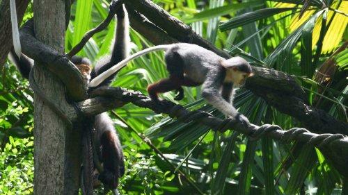 Five critically endangered monkeys shot dead in Vietnam - France 24